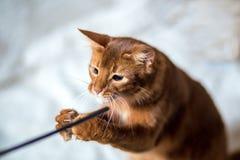 Retrato de um gato somaliano Fotos de Stock