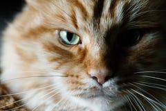 Retrato de um gato vermelho Imagens de Stock Royalty Free
