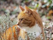 Retrato de um gato vermelho entre da alfazema Fotografia de Stock