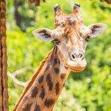 Retrato de um girafa Imagem de Stock