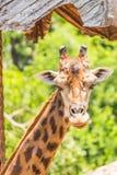 Retrato de um girafa Fotos de Stock
