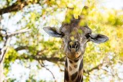 Retrato de um girafa Foto de Stock Royalty Free