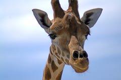 Retrato de um girafa contra o céu Imagens de Stock Royalty Free