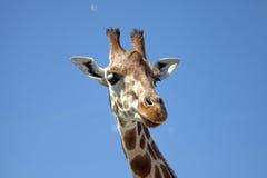 Retrato de um girafa curioso Fotos de Stock Royalty Free