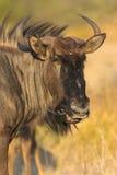 Retrato de um gnu fotografia de stock
