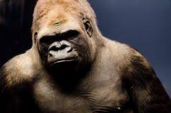 Retrato de um gorila Fotografia de Stock Royalty Free