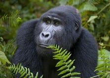 Retrato de um gorila de montanha uganda Bwindi Forest National Park impenetrável imagem de stock