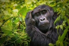 Retrato de um gorila de montanha fotografia de stock
