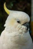 Retrato de um grande papagaio branco com adornado amarelo, Koh Samui, Foto de Stock Royalty Free