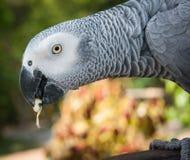 Retrato de um grande papagaio cinzento, Koh Samui, Tailândia Imagem de Stock Royalty Free