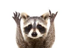 Retrato de um guaxinim engraçado que mostra um gesto da rocha fotos de stock
