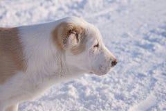 Retrato de um homem de Alabai do cachorrinho 4 meses velho fotos de stock royalty free