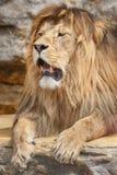 Retrato de um homem do leão Imagens de Stock