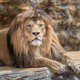 Retrato de um homem do leão Fotografia de Stock