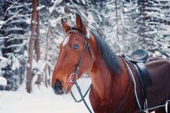 Retrato de um inverno considerável do cavalo do garanhão fora Imagem de Stock Royalty Free
