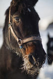 Retrato de um inverno gelado do cavalo imagem de stock
