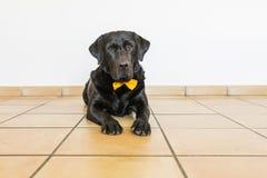 Retrato de um Labrador preto com o bowtie amarelo que olha o c Fotos de Stock Royalty Free