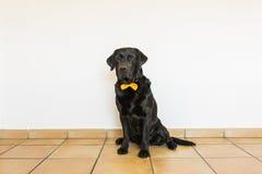 Retrato de um Labrador preto com o bowtie amarelo que olha o c Imagens de Stock Royalty Free