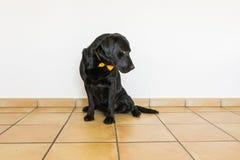 Retrato de um Labrador preto com o bowtie amarelo que olha o c Foto de Stock