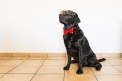 Retrato de um Labrador preto novo bonito que veste um bowti vermelho Imagens de Stock Royalty Free