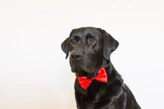Retrato de um Labrador preto novo bonito que veste um bowti vermelho Imagem de Stock Royalty Free