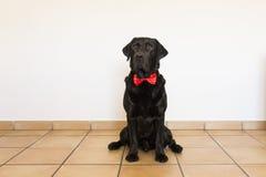Retrato de um Labrador preto novo bonito que veste um bowti vermelho Fotografia de Stock Royalty Free