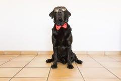Retrato de um Labrador preto novo bonito que veste um bowti vermelho Foto de Stock