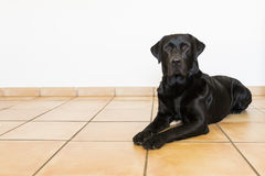 Retrato de um Labrador preto que olha a câmera Front View Fotos de Stock