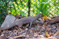 Retrato de um lagarto Imagem de Stock Royalty Free