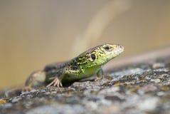 Retrato de um lagarto Imagem de Stock