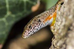 Retrato de um lagarto (vivipara de Zootoca) Fotografia de Stock