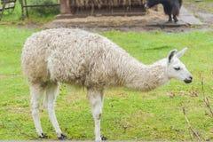 Retrato de um lama branco no fundo verde foto de stock royalty free