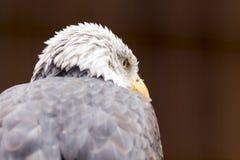 Retrato de um lat da águia americana Leucocephalus do Haliaeetus fotos de stock