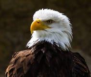Retrato de um lat da águia americana Leucocephalus do Haliaeetus fotos de stock royalty free