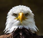 Retrato de um lat da águia americana Leucocephalus do Haliaeetus imagem de stock
