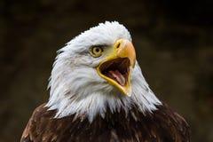 Retrato de um lat da ?guia americana Leucocephalus do Haliaeetus fotos de stock royalty free