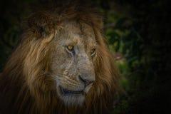 Retrato de um leão fotografia de stock royalty free