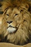 Retrato de um leão Fotos de Stock