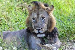 Retrato de um leão Fotografia de Stock