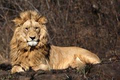 Retrato de um leão africano na meseta do arbusto imagem de stock