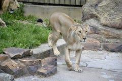 Retrato de um leão asiático selvagem fotografia de stock
