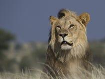 Retrato de um leão do mal Fotografia de Stock Royalty Free