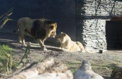 Retrato de um leão e de uma leoa no jardim zoológico, Finlandia Fotos de Stock