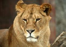 Retrato de um leão grande Fotos de Stock