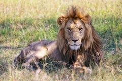 Retrato de um leão maravilhoso no Masai mara Imagem de Stock Royalty Free