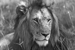 Retrato de um leão no Masai mara Fotos de Stock Royalty Free