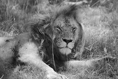 Retrato de um leão que descansa no Masai mara Fotos de Stock