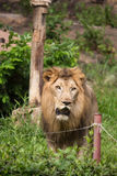 Retrato de um leão que está na grama no jardim zoológico Imagem de Stock Royalty Free