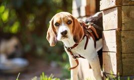 Retrato de um lebreiro pequeno do cão de cachorrinho Fotos de Stock Royalty Free
