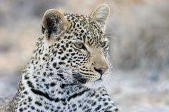 Retrato de um leopardo no parque nacional de Kruger Fotos de Stock